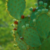 Red Fruit Edged Prickly Pear